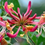 Honeysuckle Helps Knock Out Flu Viruses and Aids in Wound Healing