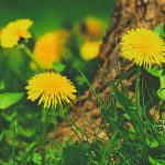Dandelion – More than Just a Weed