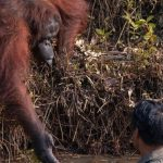 Wild Orangutan Offers Hand to Man in Snake-Infested Waters