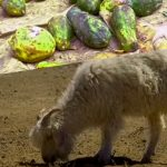 Goat and Pawpaw Fruit 'Test Positive' for COVID-19 in Tanzania