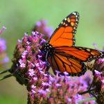 Watch 'Hummingbird' Spy Cam Capture Sea of Monarch Butterflies Take Flight