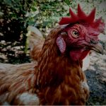 My Rooster Earl Is More of an Expert Than Dr. Fauci