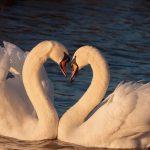 A Prescription for Swans