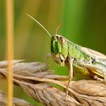 FAO Slammed for Use of Highly Toxic Pesticides to Control Desert Locusts in Africa