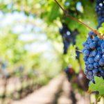 Texas Wine Grape Growers Sue Bayer-Monsanto Over Dicamba Drift Damage